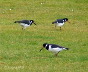 Oystercatchers on Carnoustie golf course, Nov 14