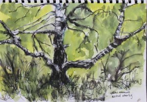 Silver birch, Highgate Common, Staffordshire, A4; ink & watercolour